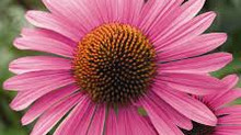 Echinacea Purpurea Bouclier de l'Hiver