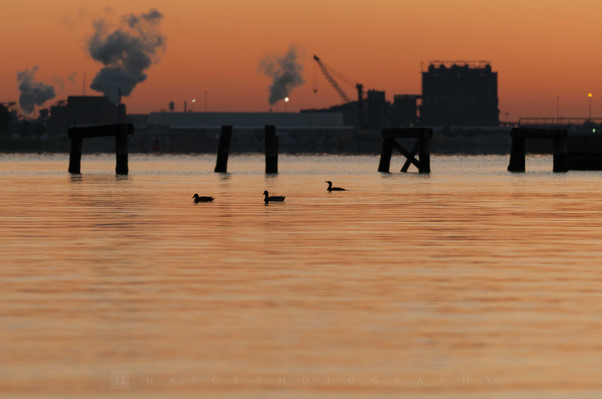 Port Covington Ducks