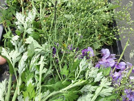 健康な畑の健康な雑草