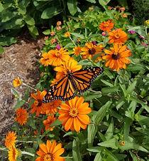 Monarch Butterfly (2).jpg