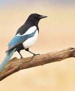 A magpie sitting on a branch.