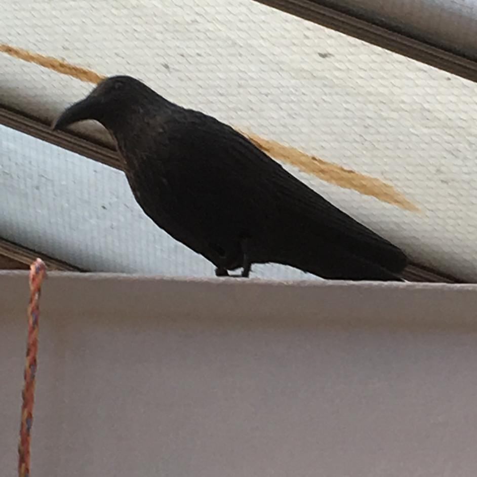 Great Grandmother's Crow