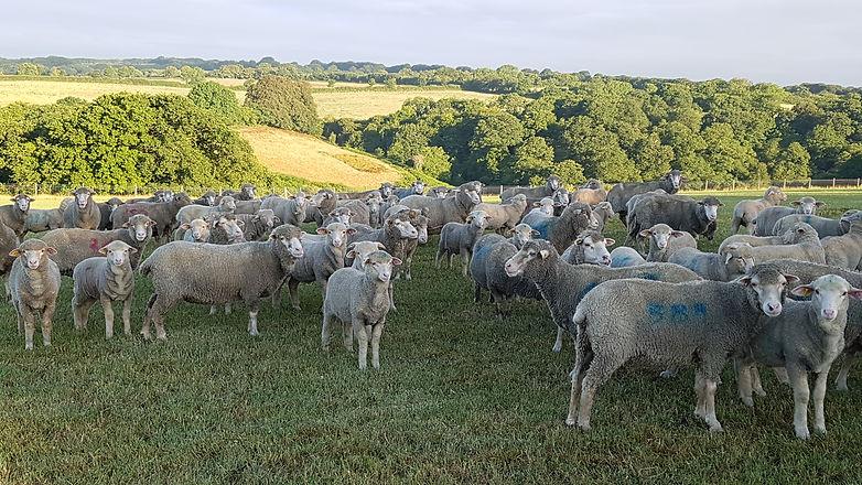 lambs in clover.jpg