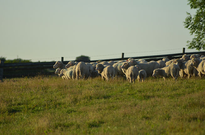 Sheep on camp in the evening