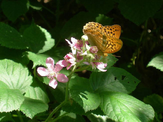 Silver washed Fritillary on bramble