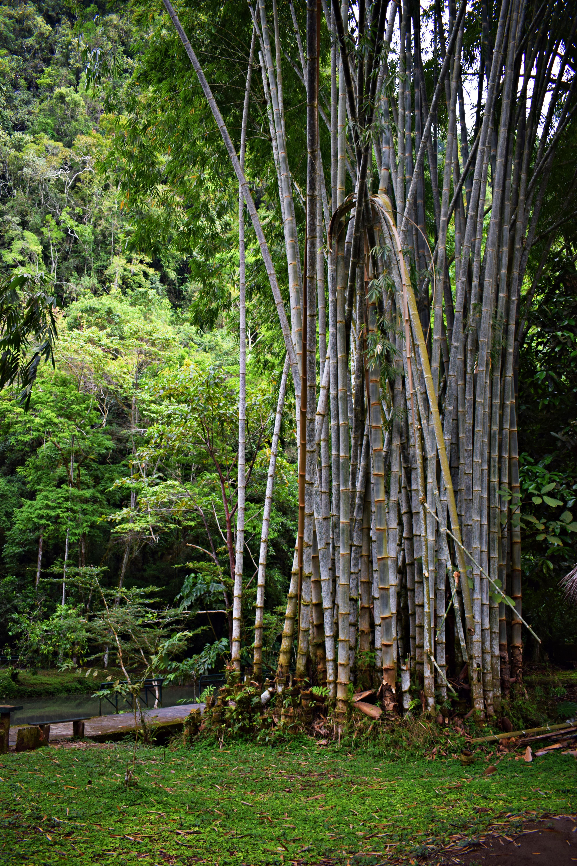 Plantación de Bambú gigante