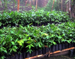 Bambú para reforestar