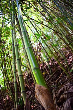 Plantación de bambucillo