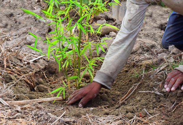 Quiero plantar bambú, pero… ¿por dónde empezar? Tips básicos para invertir en plantaciones con bambú