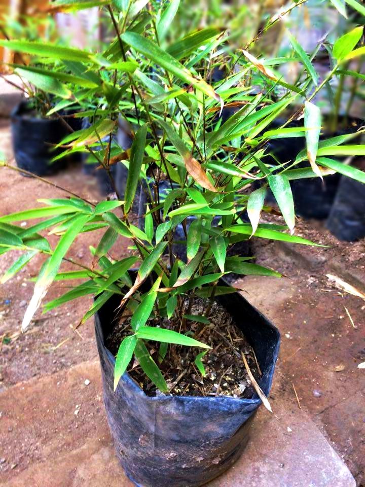 Plantones de bambú negro