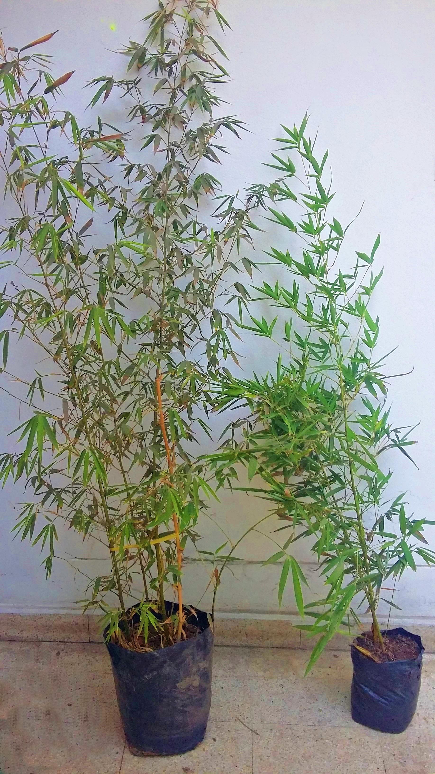 Plantones de bambucillo