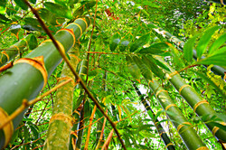 Plantación de Guadua