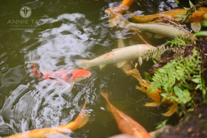San-Francisco-lifestyle-photography-koi-fish-in-Japanese-garden