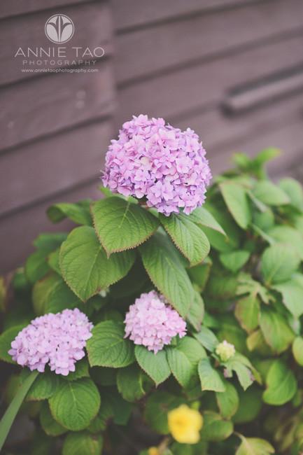 east-bay-lifestyle-photography-purple-hydrangeas