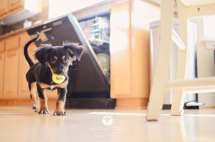 bay-area-lifestyle-pet-photography-puppy-with-ball-in-kitchen-bg