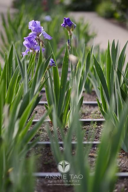 San-Francisco-Bay-Area-lifestyle-photography-iris-in-garden
