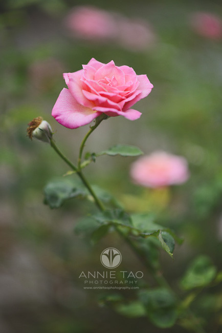 East-Bay-lifestyle-photography-pink-rose