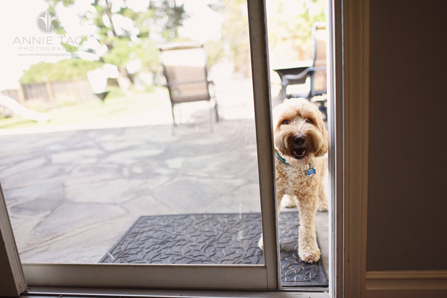 San-Francisco-Bay-Area-lifestyle-pet-photography-doodle-puppy-peeking-through-screen-door-crack