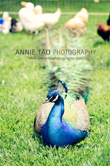 Chew-Peacock