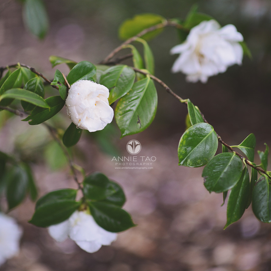 Bay-Area-lifestyle-photography-white-roses-with-water-droplets