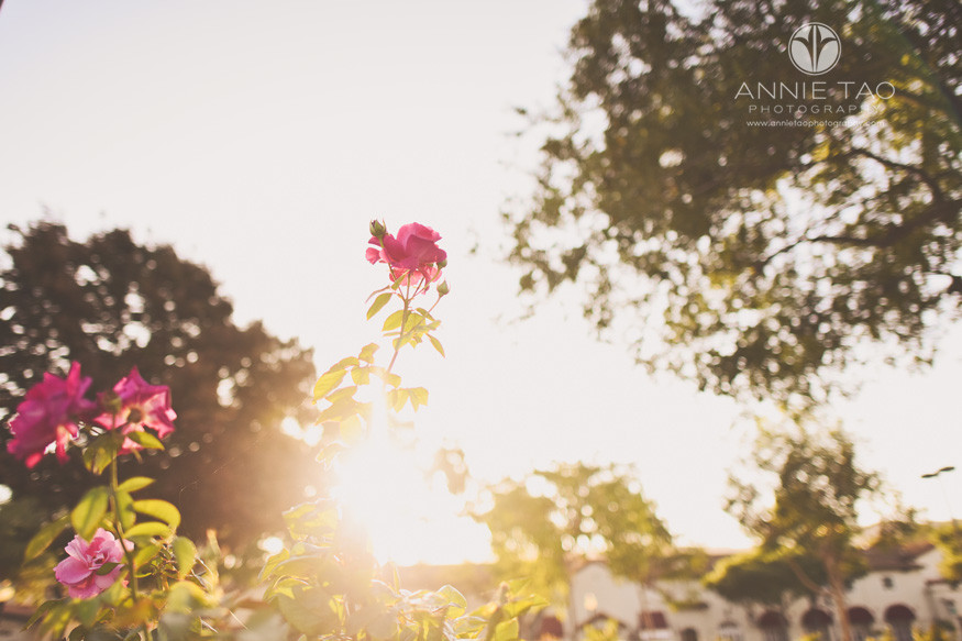 San-Francisco-Bay-Area-Los-Gatos-lifestyle-photography-pink-roses-in-morning-sun