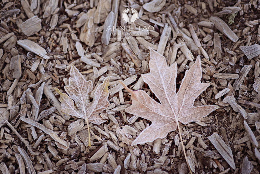 Bay-Area-lifestyle-photography-two-frozen-maple-leaves-on-ground