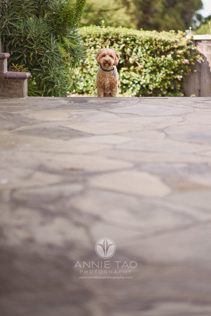 San-Francisco-Bay-Area-lifestyle-pet-photography-doodle-puppy-on-patio-stairs