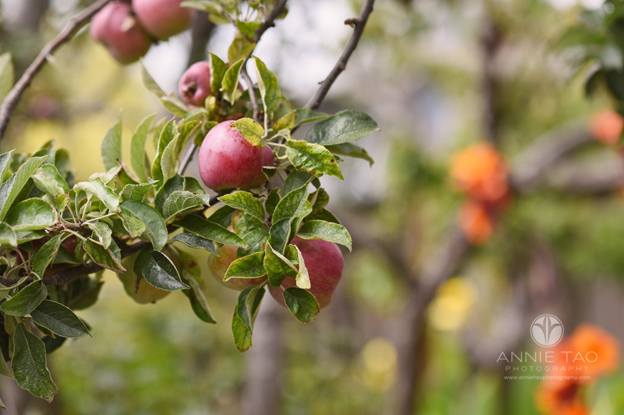 East-Bay-styled-photography-apple-tree-closeup
