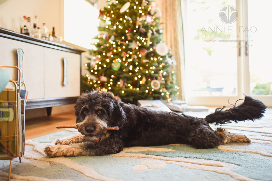 San-Francisco-lifestyle-pet-photography-grey-and-brown-puppy-with-bone-by-christmas-tree-2