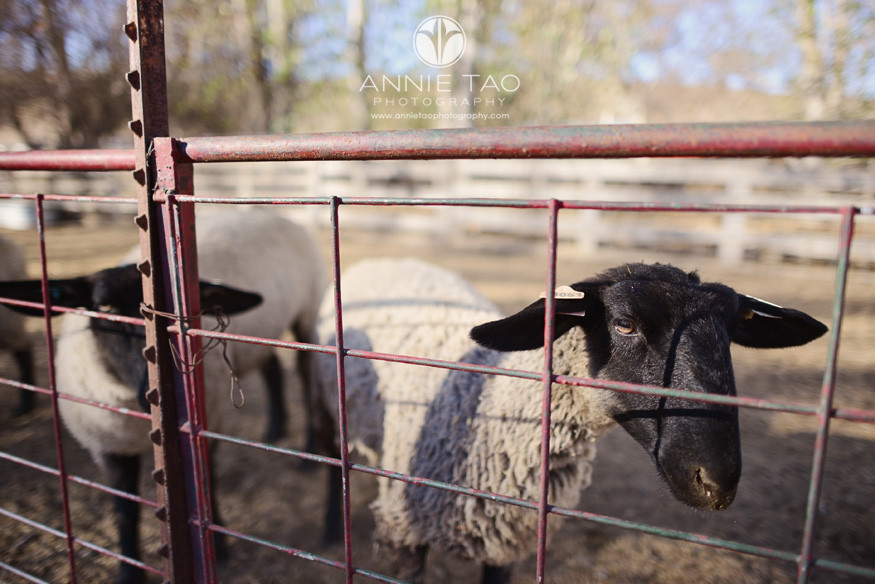 East-Bay-lifestyle-photography-sheep-at-farm