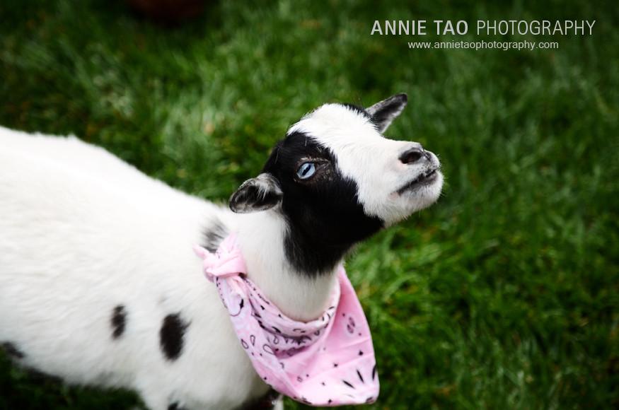 Chew-Baby-Girl-Goat
