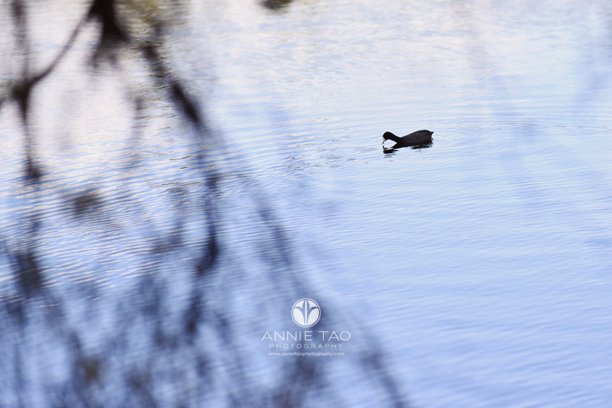 San-Francisco-bay-area-lifestyle-photography-black-duck-in-lake