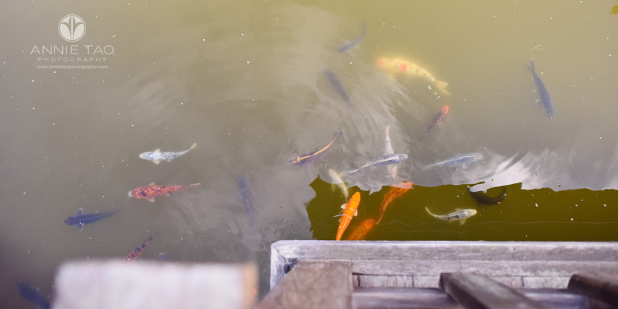 East-Bay-lifestyle-photography-koi-fish-below-teahouse-in-japanese-garden