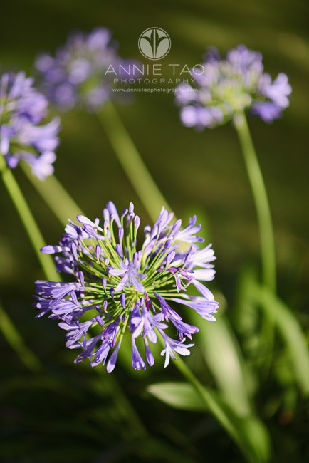 South-Bay-lifestyle-photography-purple-flowers-in-morning-light