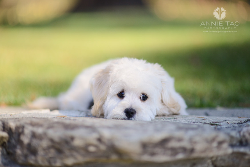 South-Bay-lifestyle-pet-photography-cute-white-puppy-laying-down