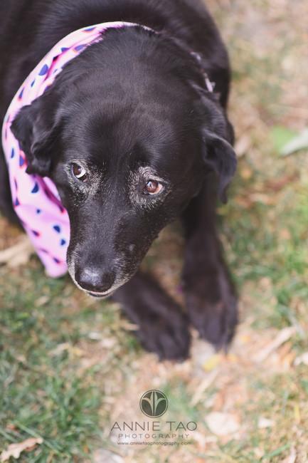 East-Bay-styled-photography-black-labrador-dog-with-pink-bandana