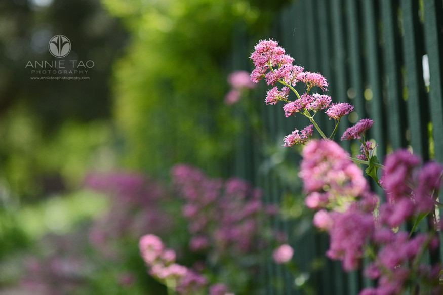 Bay-Area-lifestyle-photography-fuschia-flower-sticking-out-through-green-fence