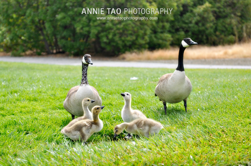 Clm-Geese-Family
