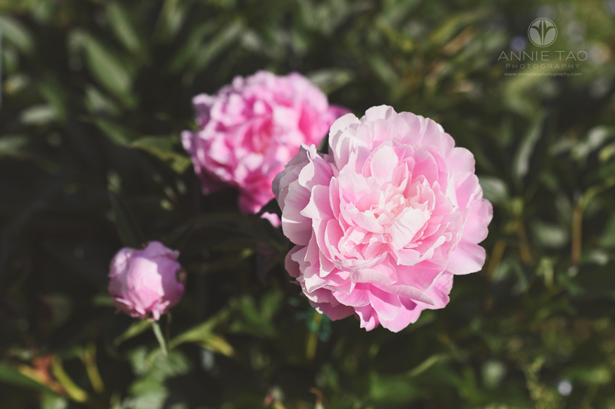 Bay-Area-lifestyle-photography-pink-peonies-flowers