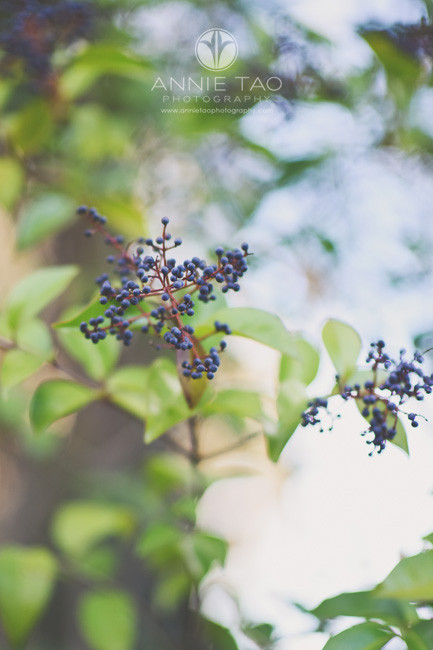 east-bay-lifestyle-photography-bush-with-blue-berries
