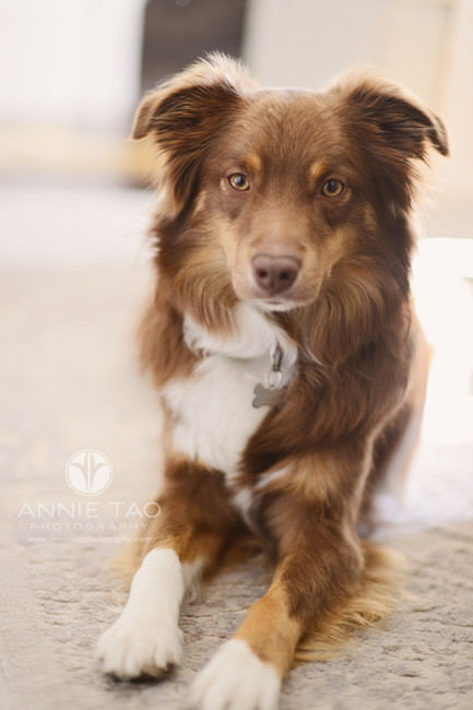 san-francisco-lifestyle-pet-photography-brown-dog-laying-down-in-livingroom