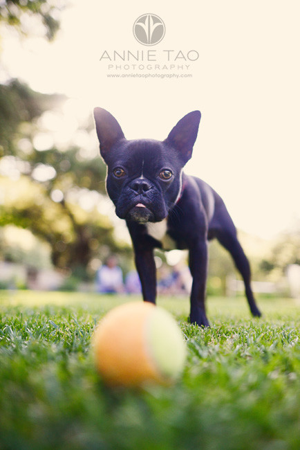 South-Bay-lifestyle-pet-photography-little-black-dog-waiting-for-photographer-to-throw-the-ball