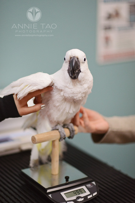 East-Bay-Commercial-Photography-San-Ramon-Bishop-Ranch-Veterinary-bird-getting-weighed