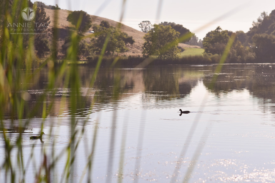 Bay-Area-lifestyle-photography-two-black-ducks-swimming-in-lake-view-from-behind-tall-grass