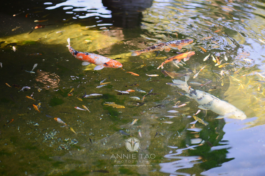 east-bay-lifestyle-photography-koi-fish-in-pond