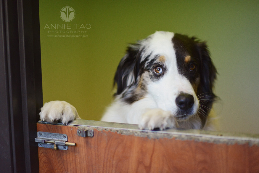 East-Bay-Commercial-Photography-Bishop-Ranch-Veterinary-big-dog-in-a-kennel