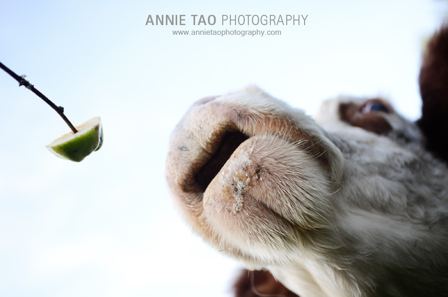 Seattle-lifestyle-photography-closeup-cow-drool-bottom-view