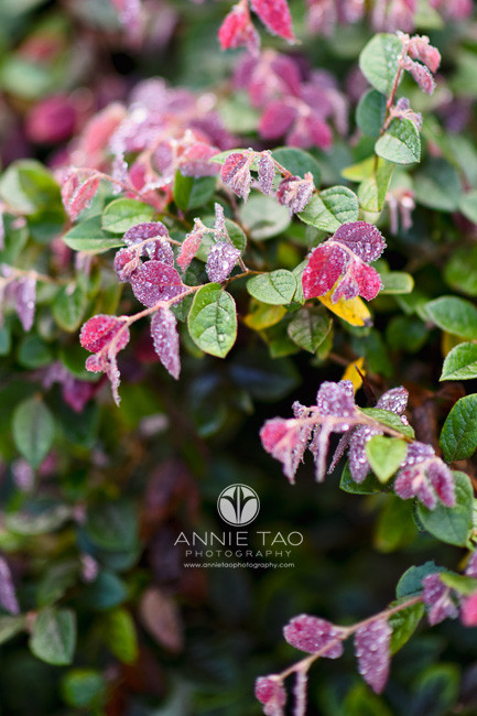 San-Francisco-lifestyle-photography-closeup-of-red-and-green-bush-with-rain-droplets