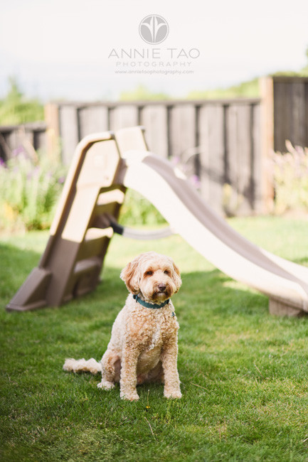 San-Francisco-Bay-Area-lifestyle-pet-photography-doodle-puppy-in-backyard copy