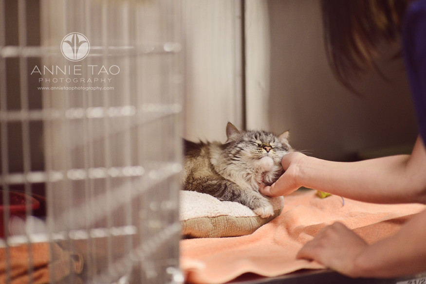 East-Bay-Commercial-Photography-Bishop-Ranch-Veterinary-longhaired-cat-being-pet-in-boarding